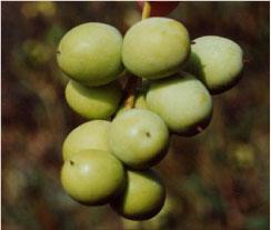 arbosana olives